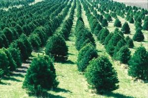 Christmas Tree farm planting trees